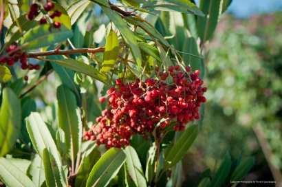 Toyon or Christmas Berry is alive with tweets in the fall as birds gravitate toward its berries!