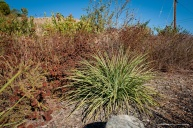 Yucca, another edible fire fighter, finds spots nestled within the California Buckwheat.